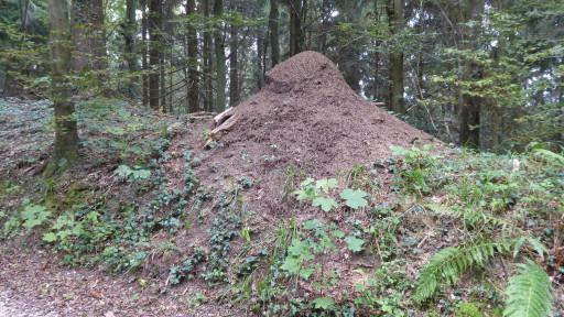 Ameisenhaufen am Eichbanweg