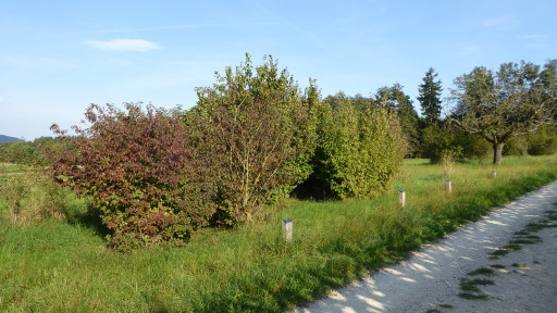 Hecke Allmendstrasse