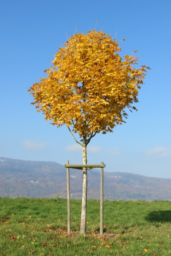 Spitzahorn im Herbstkleid