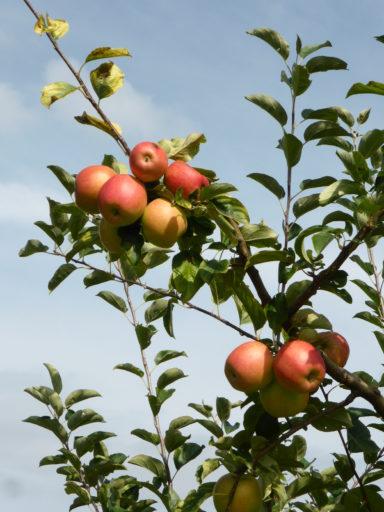 Apfel ARIWA