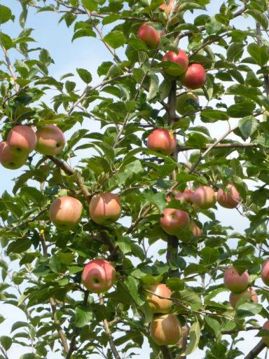 Apfel FLORINA