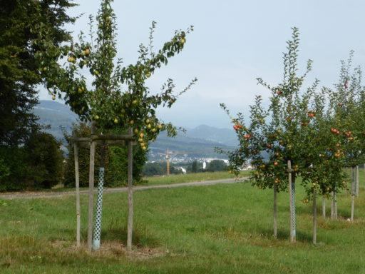 Birn- und Apfelbaum