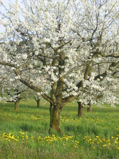 Halbstamm Kirschen - Blütezeit