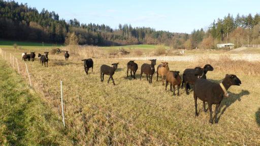Aufmerksame Schafe