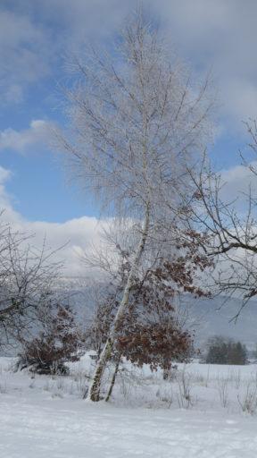 Birke im Winterkleid
