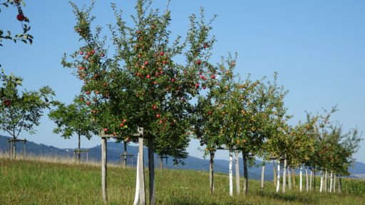 Baumreihe am Weidrain